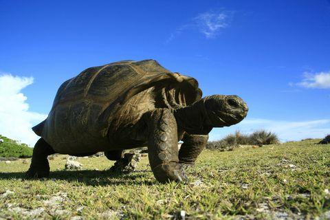 Seychellenreuzenschildpad, die leeft op het eiland Aldabra op de Seychellen