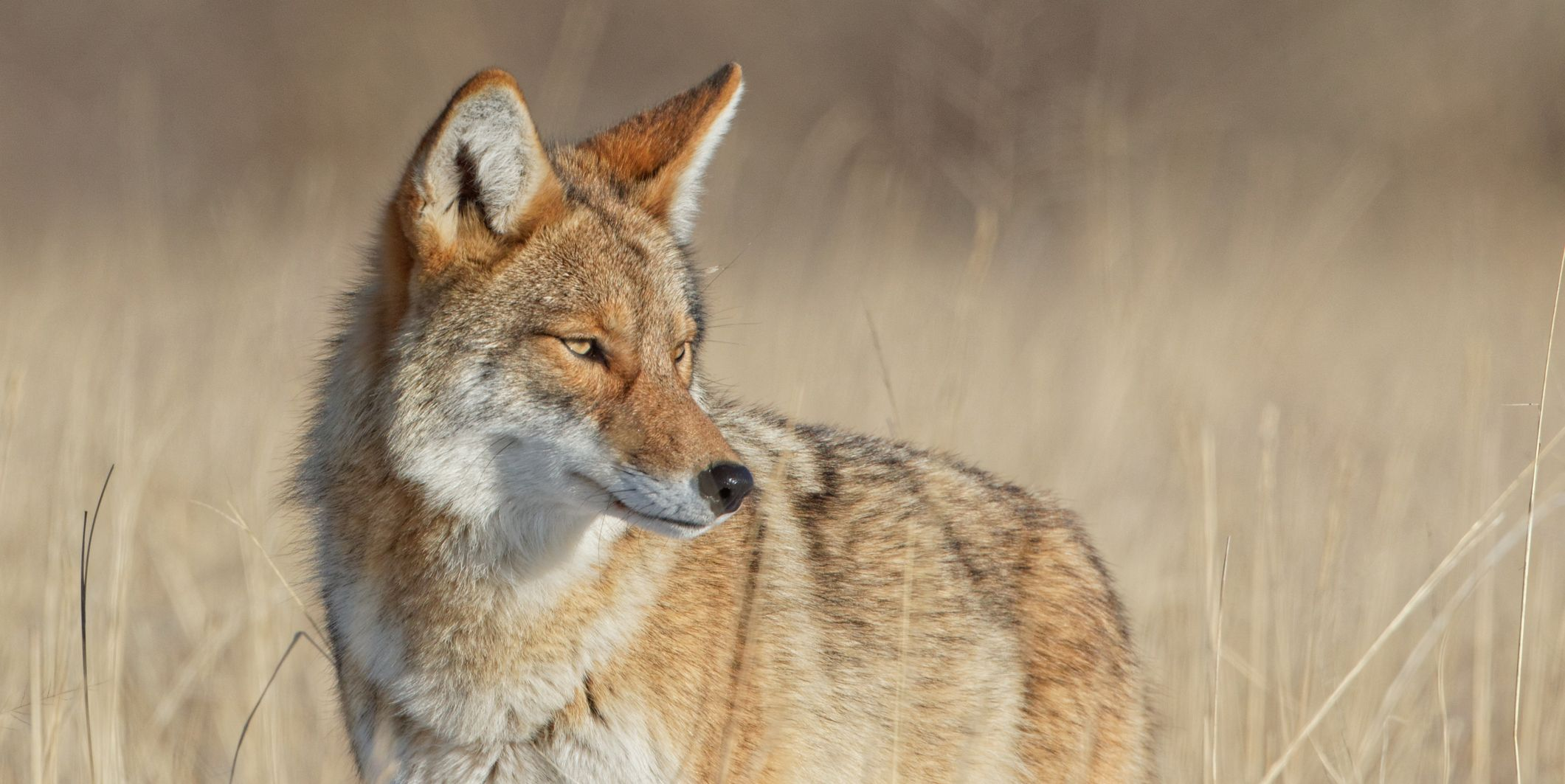 Alert Coyote Survey Surroundings In Beautiful Light