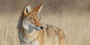 Alert Coyote Survey Surroundings In Beautiful Light