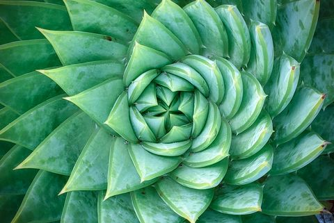 aloe polyphylla, spiral aloe