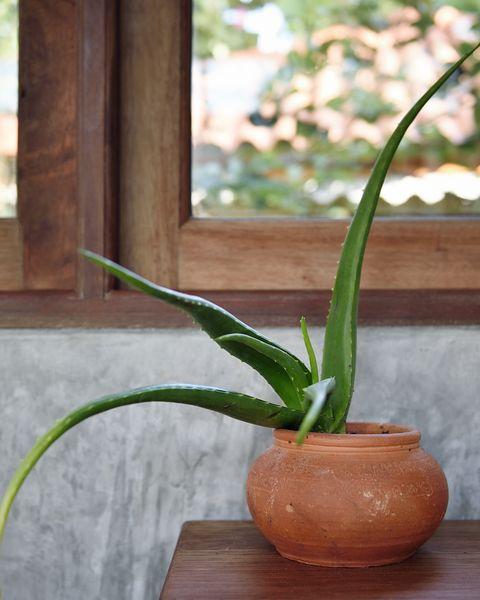 Aloe vera best healing plants