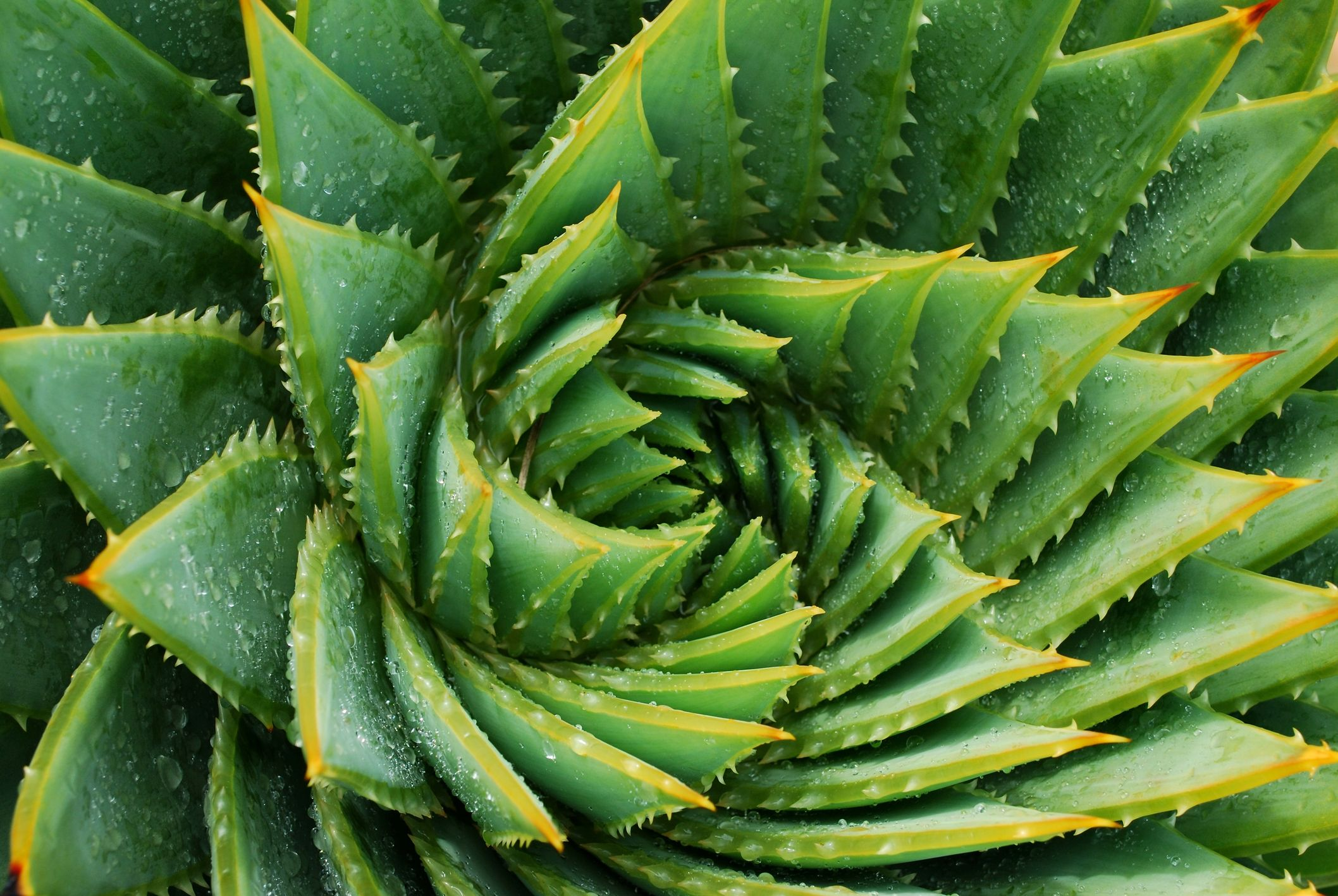 How To Grow And Care For Aloe Vera Plants
