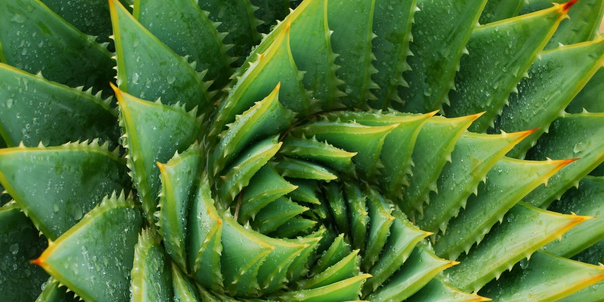 How To Grow Aloe Vera Aloe Plant Care Indoors And Outside