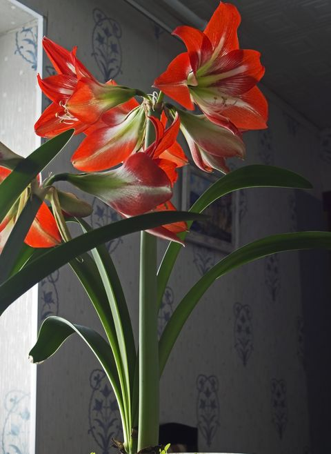 Amaryllis red flower in pot, narrow focus area