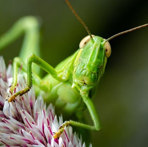 amazing insects, grasshopper