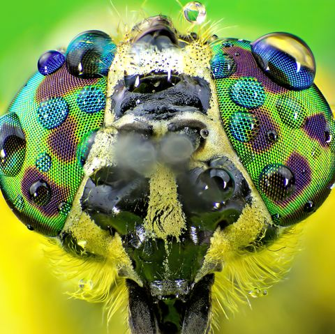 amazing insects, haematopota pluvialis, the common horse fly close up