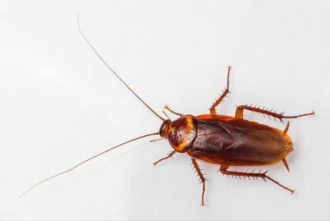 5 Common Types Of Cockroaches That Can End Up In Your Home