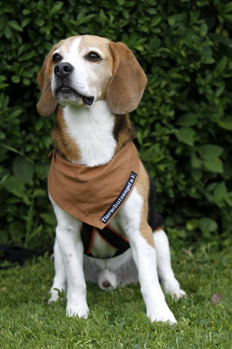 american foxhound - rare dog breeds