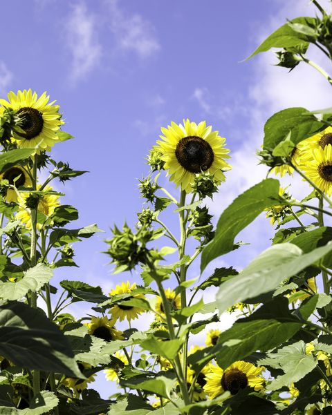 american giant sunflower types