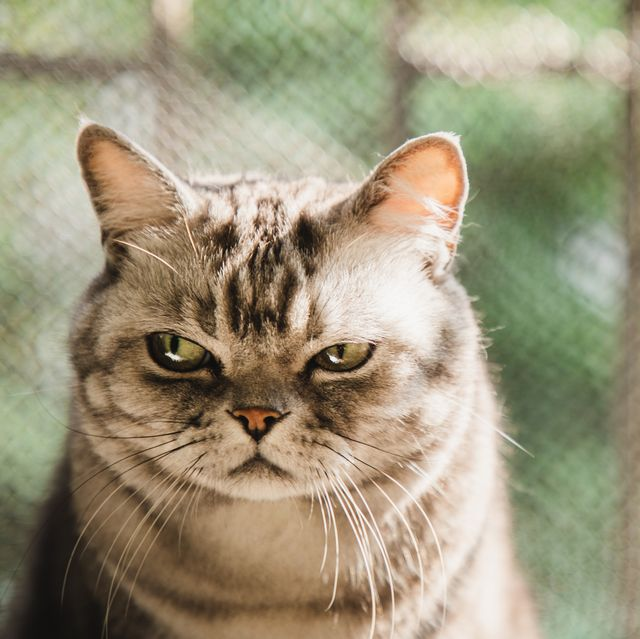 american shorthair striped cat with a dissatisfied face