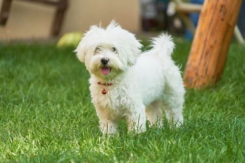 an adorable portrait of a havanese maltese puppy on green grass in a vibrant summer backyard