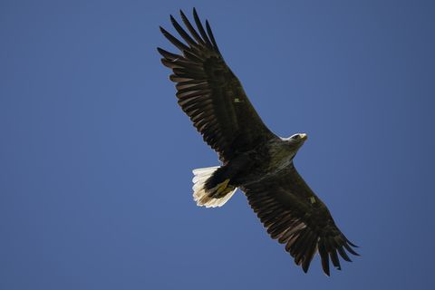 White-Tailed Eagles Monitored Ahead Of Reintroduction Project