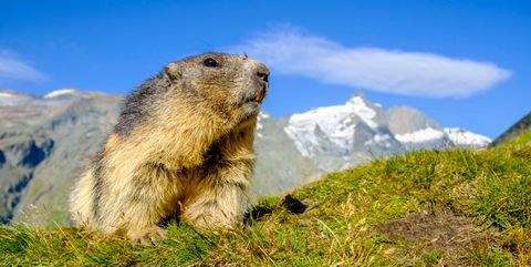 Groundhog Nature Spring Blue Sky Grass