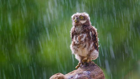 Uil in de regen