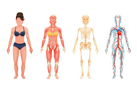 anatomical structure of body of person, woman body