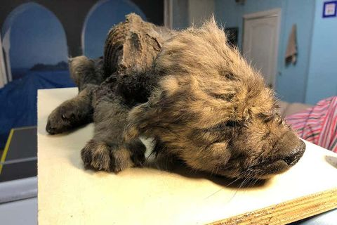 Dog, Canidae, Snout, Cairn terrier, Dog breed, Carnivore, Terrier, Fur, Paw, Puppy,