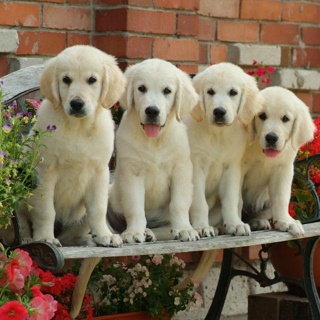 top dog breeds -- four labrador retrievers in a garden