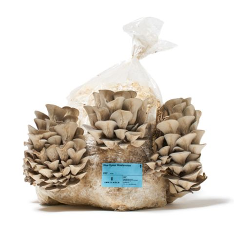 smallhold blue oyster mushroom grow kit