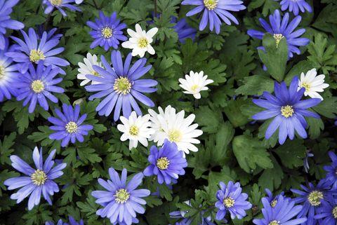Anemone blanda low maintenance flowers