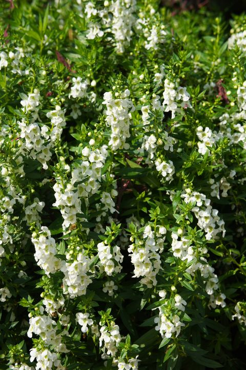 angelonia angustifolia or summer snapdragon white royalty free image 1574017028.jpg?crop=1xw:0 - 15 Melhores FLORES BRANCAS para o seu JARDIM