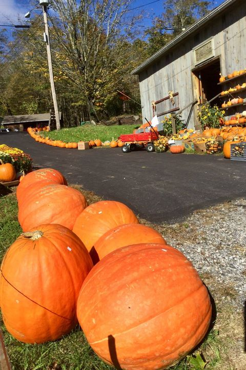 best pumpkin farms near me angevine farm