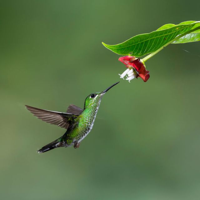 a female green crowned brilliant hummingbird feeds on a hot lips flower in costa rica