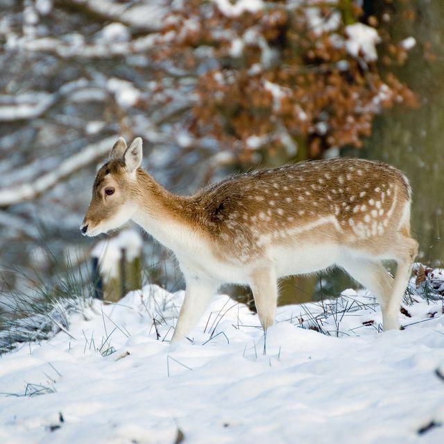 animals in snow uk