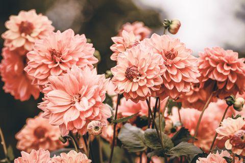 Flower, Flowering plant, Pink, Petal, Plant, Chrysanths, Spring, Botany, Floral design, Blossom,