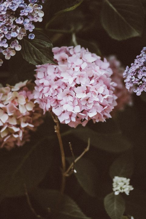 Flowering plant, Flower, Lilac, Plant, Pink, Lilac, Spring, Hydrangea, Botany, Hydrangeaceae,