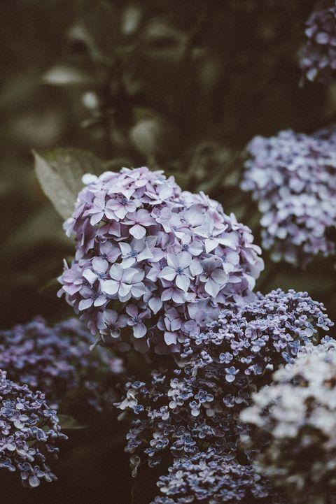 Flower, Lilac, Plant, Purple, Spring, Botany, Leaf, Lilac, Blossom, Tree,