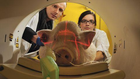 Transplantatie van een varkenslever? Dat doen we eerst maar eens bij een aap.