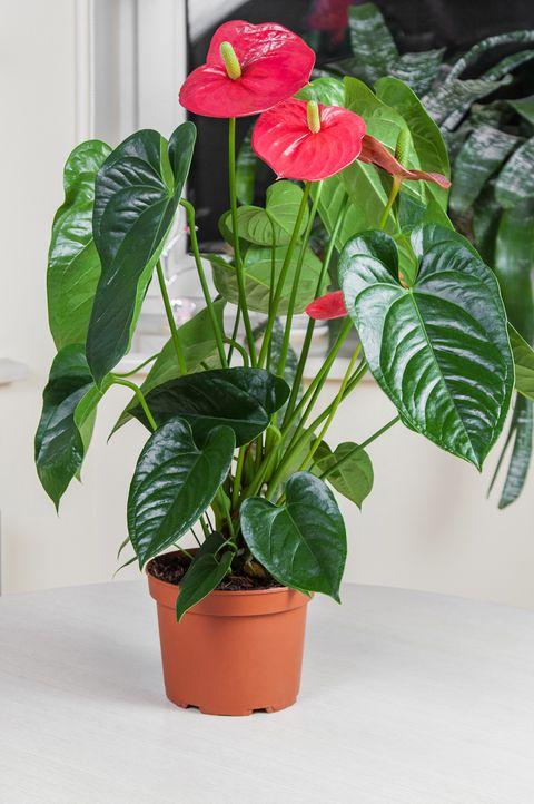 Red Flamingo flower (Anthurium andraeanum, Araceae or Arum) in home interior