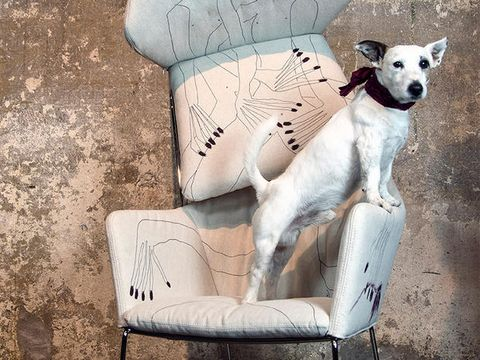Dog, Canidae, Whippet, Carnivore, Companion dog, Chair, Dog breed, Italian greyhound,