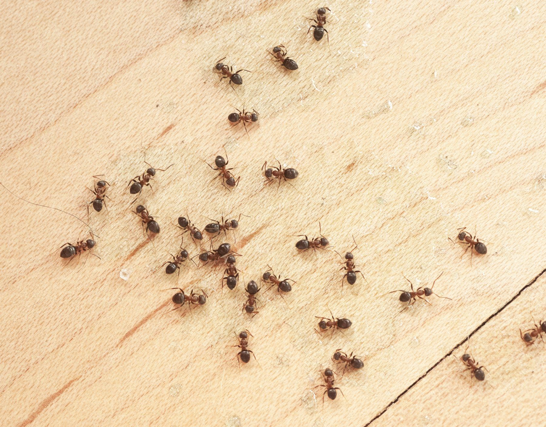 Get Rid of Ants With This Simple Home Solution