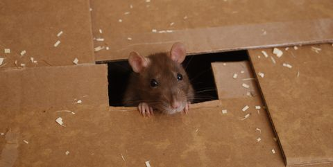 Mouse, Rat, Mammal, Muroidea, Muridae, Rodent, Hamster, Gerbil, Pest, Skin,