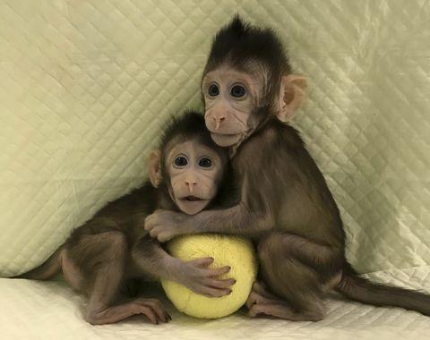 cloned-monkeys.jpg