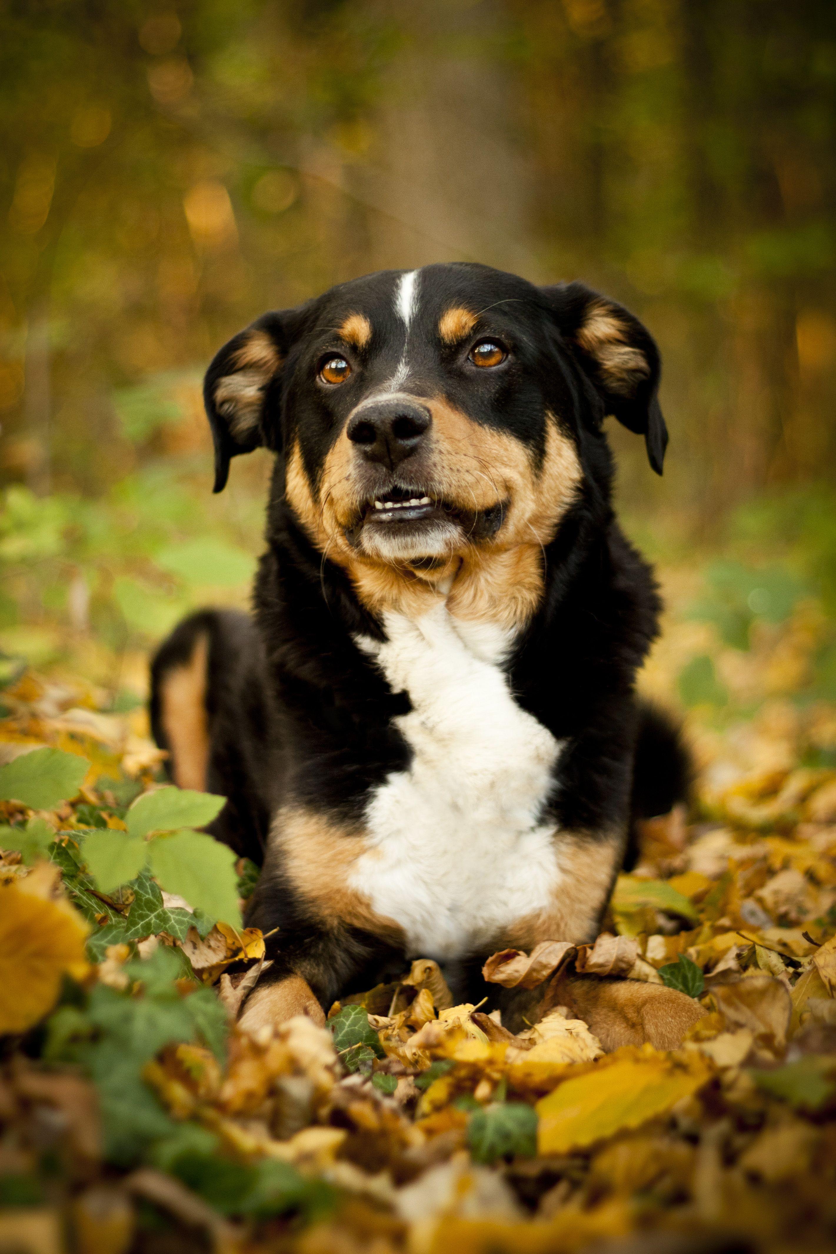 Аппенцеллер зенненхунд - сторожевая собака для охраны частного дома