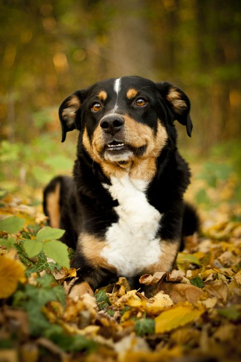 appenzeller sennenhund - best guard dogs