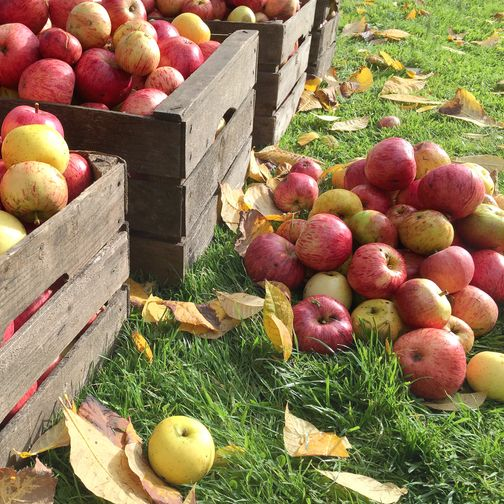 Best Apple Picking Places Near Me Apple Orchard Events Across America