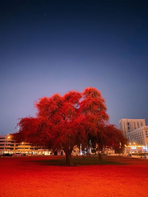 Red, Tree, Sky, Nature, Night, Leaf, Light, Woody plant, Lighting, Plant,