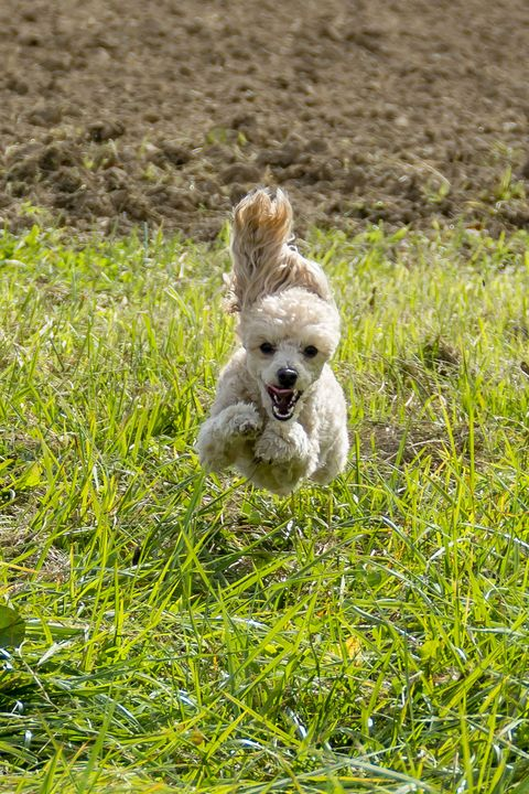 Apricot colored toy Poodle running in a field with ears flopping in Kentucky USA