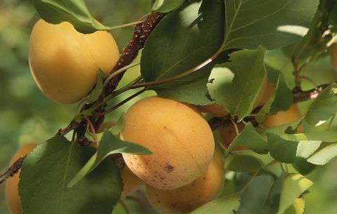 apricots in tree