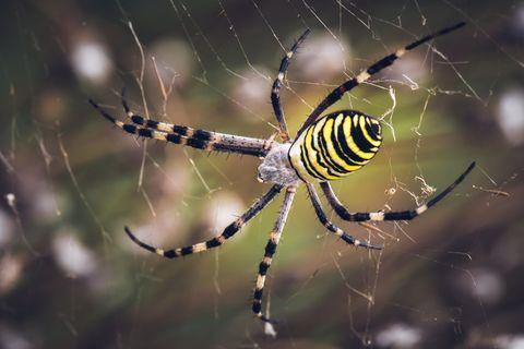 Close-Up of Wasp Spider (Argiope bruennichi) / Araña