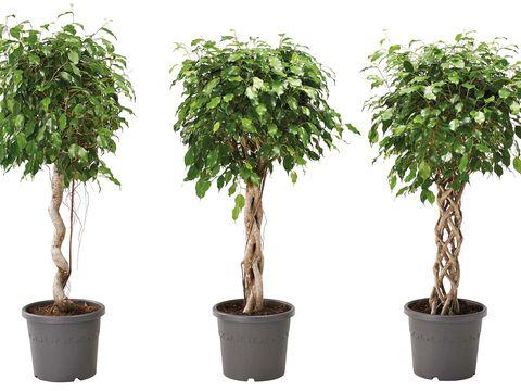 Planta, ficus benjamina mezcla de especies de plantas