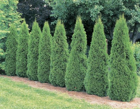 Arborvitae trees in a garden (Thuja occidentalis Smaragd)
