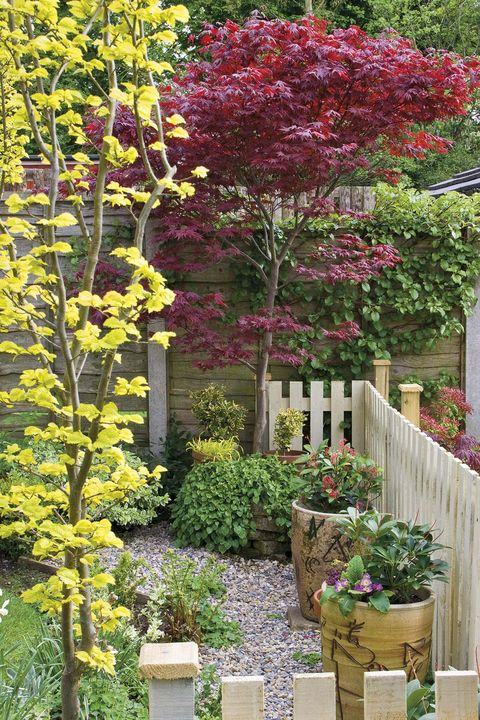 Jardinería: Arce japonés