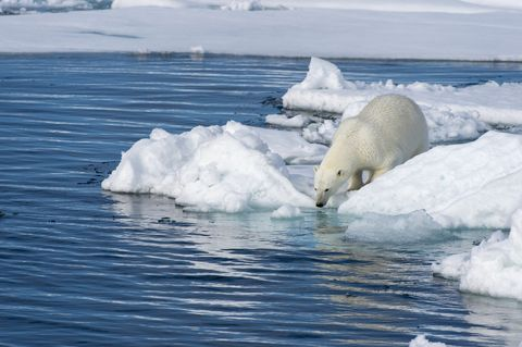 A polar bear (Ursus maritimus) is looking for food at the