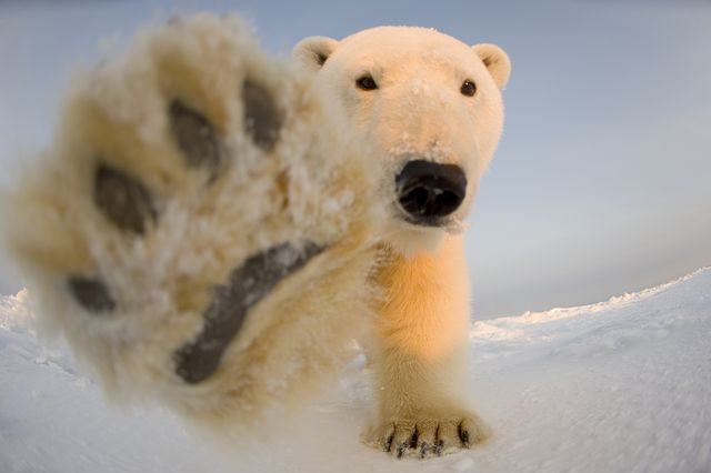 north slope, ak  undated file photo shows a curious polar bear cub tries to balance on its hind legs at the arctic national wildlife refuge in north slope, alaskaa polar bear waves hello as the world prepares to mark international polar bear day the fluffy white animals are pictured pawing the camera, peering onto a boat and nuzzling its mate the carnivorous creatures, which call the arctic circle their hostile home, are at risk of losing their icy habitat thanks to global warming international polar bear day on february 27 encourages people to curb their carbon outputphotograph by steven kazlowski  barcroft media photo credit should read steven kazlowski  barcroft medi via getty images