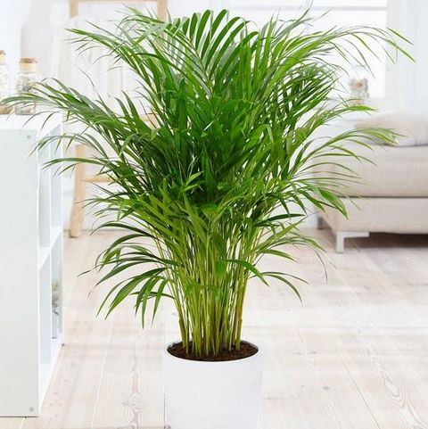 Areca palm 14cm pot 60cm tall - green houseplant