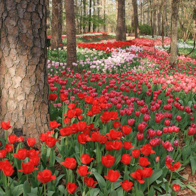 Flower, Flowering plant, Plant, Red, Spring, Natural landscape, Tulip, Botany, Leaf, Petal,